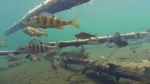 perch-fish-swimming-among-submerged-trees_416jmghw__F0000